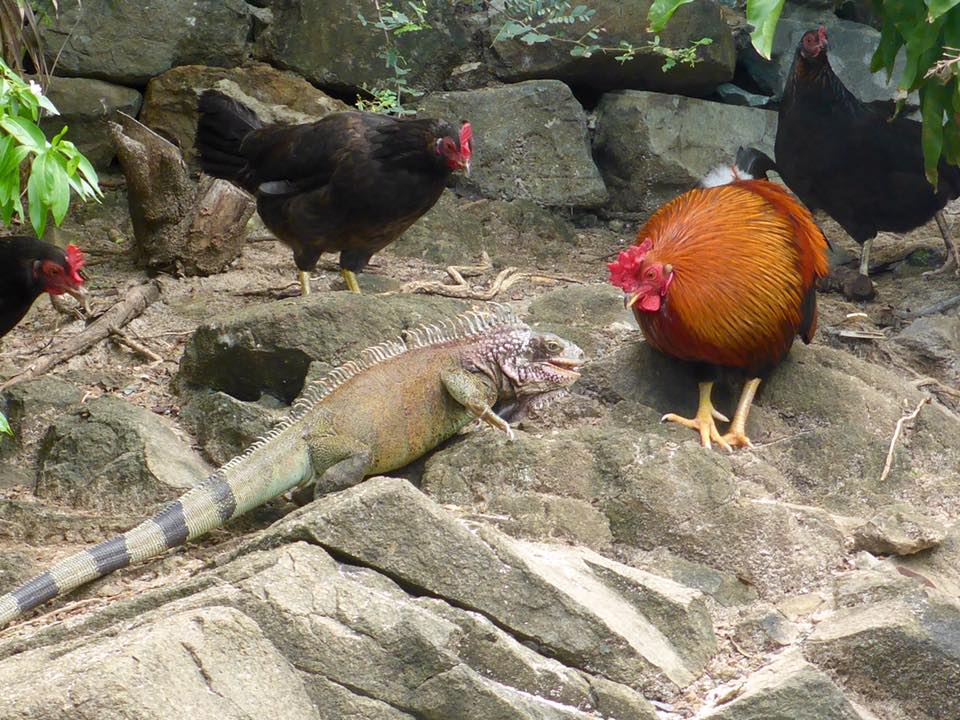 Look at this Green Iguana and Rooster Stare Each other Down Over a Sandwich!