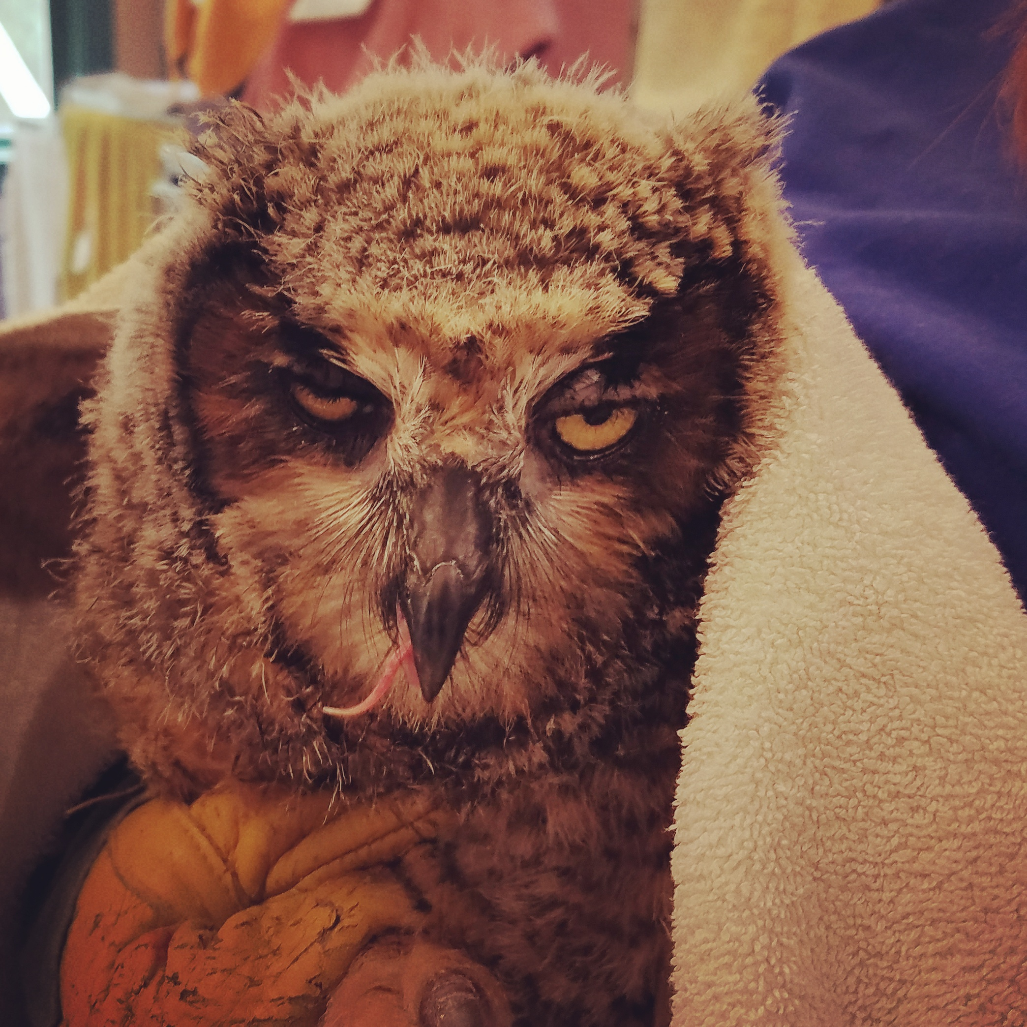 Great Horned Owlet Admitted to Hospital