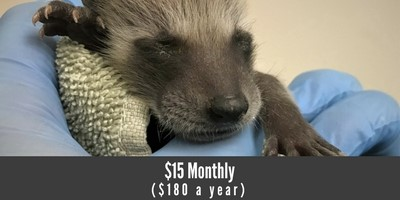 monthly-donor-raccoon
