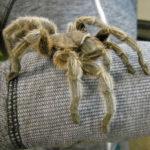 tarantula-veterinarian