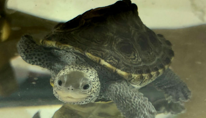 Shellabrate World Turtle Day